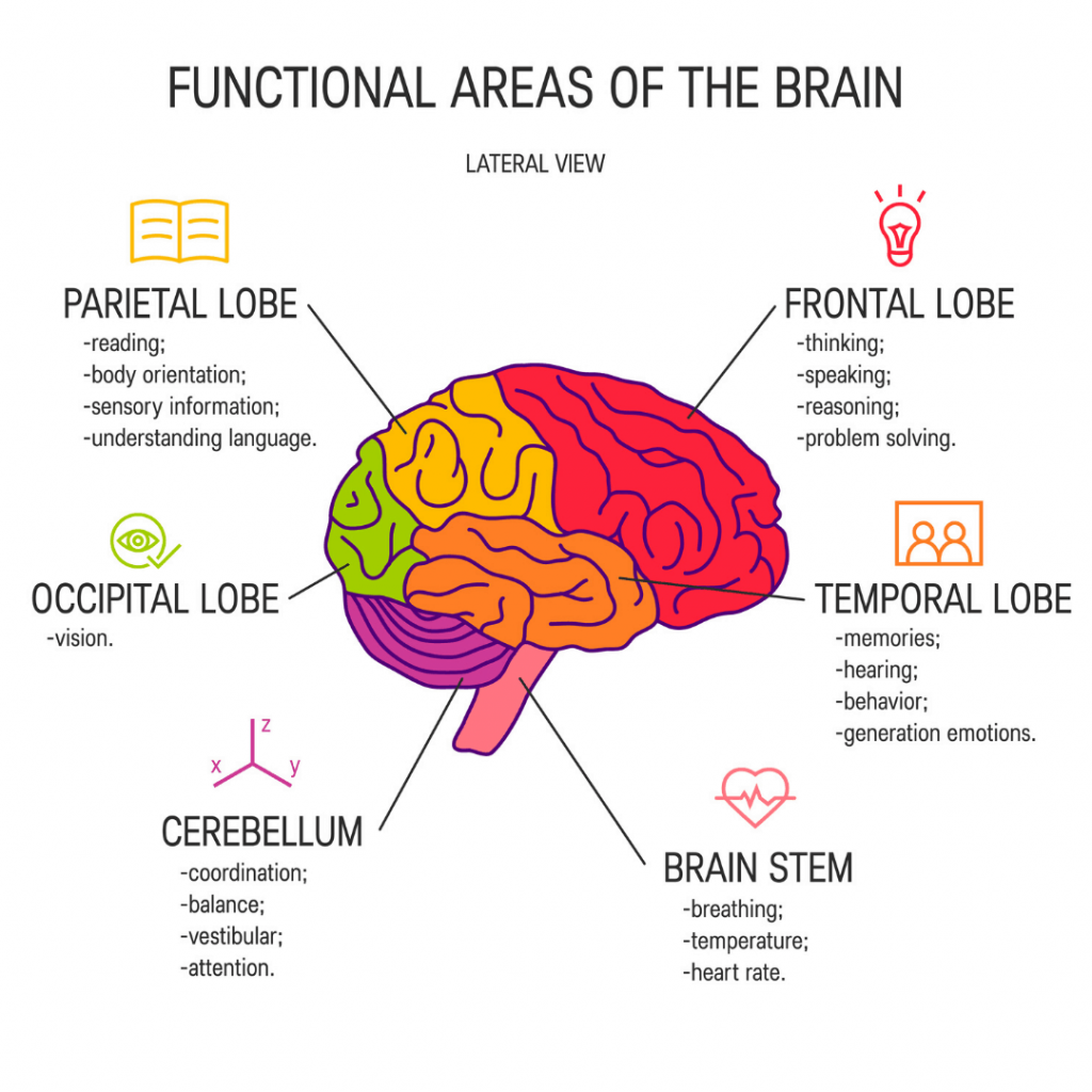 The main areas of the brain and what they are their functions